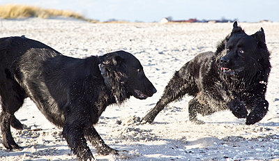 Two black dogs playing on beach - p300m919814 by Jana Fernow