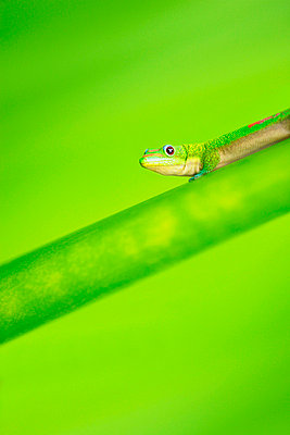 Green Gecko - p4421339f by Design Pics