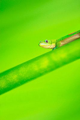 Green Gecko - p4421339f by Design Pics