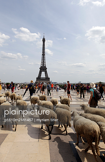 Herd of sheep on the forecourt of the Eiffel Tower, Paris - p1610m2181457 by myriam tirler