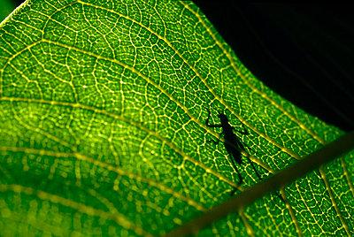 Katydid Shadow on Green Leaf - p694m720370 by Bill Koechling