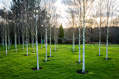 A garden in winter, white birch trees with pale trunks in grass. - p1100m2085091 by Mint Images