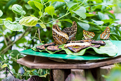 Germany, Kiel, Butterflies sitting on plate, eating - p300m940948f by Jana Fernow