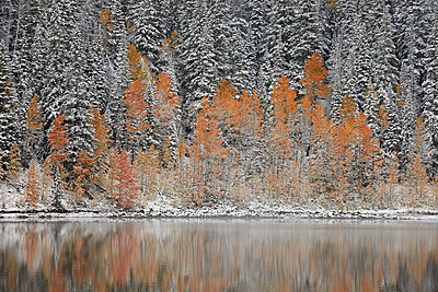 Orange aspens in the fall among evergreens covered with snow at a lake, Grand Mesa National Forest, Colorado, United States of America, North America - p871m1028588f by James Hager