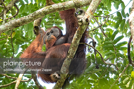 Malaysia, Borneo, Sabah, Bornean orangutan ,Pongo pygmaeus, male - p300m2090573 by Christian Zappel