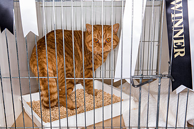 Cat in a cage at a cat show - p1057m1564467 by Stephen Shepherd