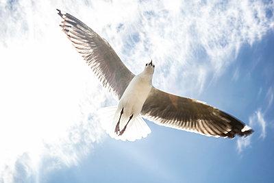 Möwe in der Luft - p1082m2071327 von Daniel Allan