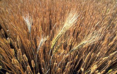 Overhead view of ripen barley crops in the field - p3488604 by Bjorn Alander