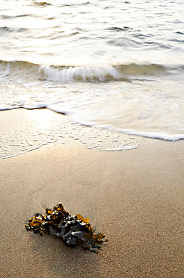 Seaweed on sandy beach - p575m696345f by Mikael Svensson