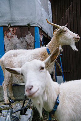 Goaty beard - p819m1068322 by Kniel Mess