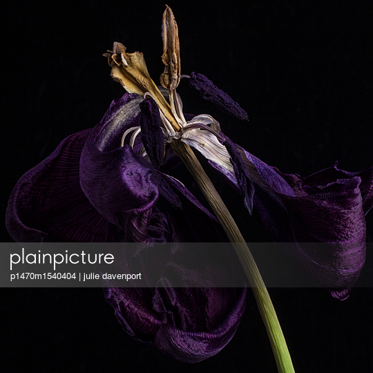 Dried tulip - p1470m1540404 by julie davenport