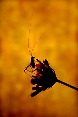 Grasshopper on a scabiosa, Luberon, France - p1028m2204658 von Jean Marmeisse