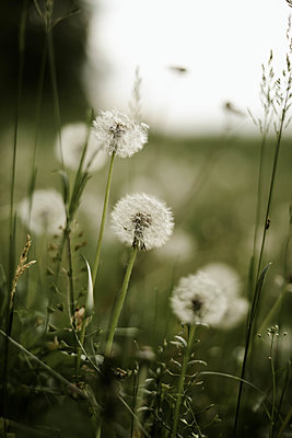 Close up of dandelion. - p1166m2088024 by Cavan Images
