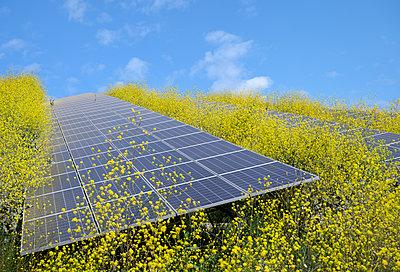 Solar panels surrounded by mustard plants at solar farm, Geldermalsen, Gelderland, Netherlands - p429m2127794 by Mischa Keijser