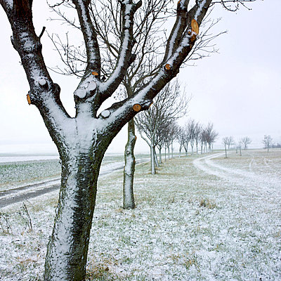 Snowy tree with pruned branches - p8130460 by B.Jaubert