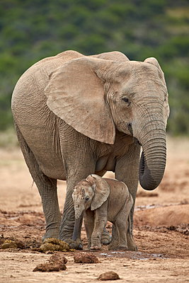 African elephant (Loxodonta africana) mother and baby, Addo Elephant National Park, South Africa, Africa - p871m898456f by James Hager