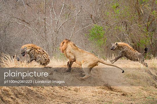 p1100m2061223 von Londolozi Images