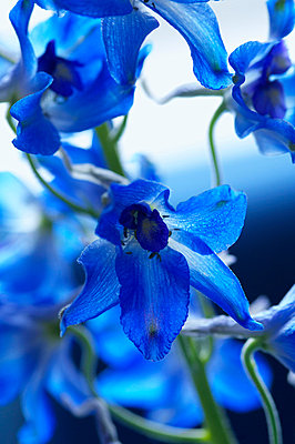 Blue iris - p4730135f by Stock4B