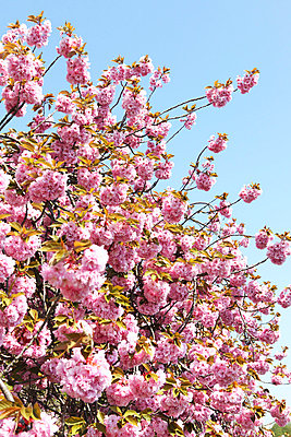 Cherry blossoms - p0453059 by Jasmin Sander