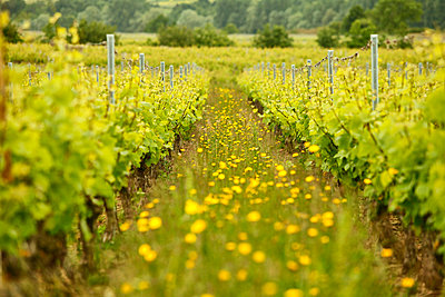 Buttercups line a path between grapevines in a French vineyard - p1166m2113099 by Cavan Images