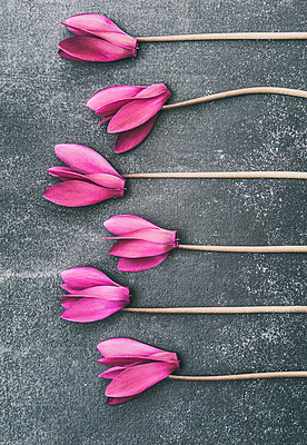 Cyclamen flowers in a row - p971m2026258 by Reilika Landen