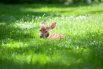 Portrait of fawn sitting on meadow - p1166m1486036 by Cavan Images