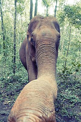 Kambodscha, Elefant im Dschungel - p1189m2176220 von Adnan Arnaout
