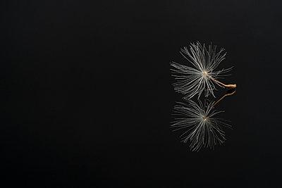 Dandelion seed on a black reflective surface - p1302m2185015 von Richard Nixon