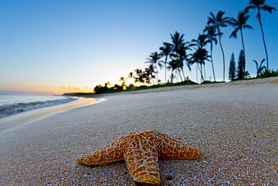 Close-up Of A Starfish On The Beach During Sunrise In Hawaii - p343m1203859 by Sean Davey