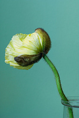 Poppy in a vase - p4730140f by Stock4B