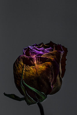 A dried rose bud with deeply folded petals , dried leaves in a studio style close up. - p1057m1510401 by Stephen Shepherd