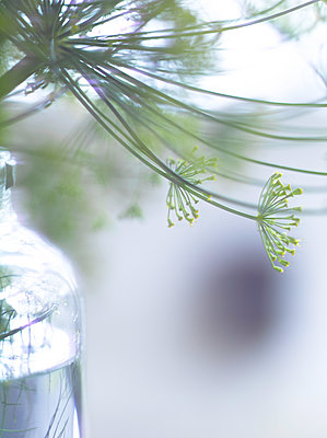Dill in a jar, close-up - p1629m2211318 by martinameier