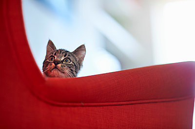 Cat looking up from red armchair - p429m1569485 by Matt Lincoln