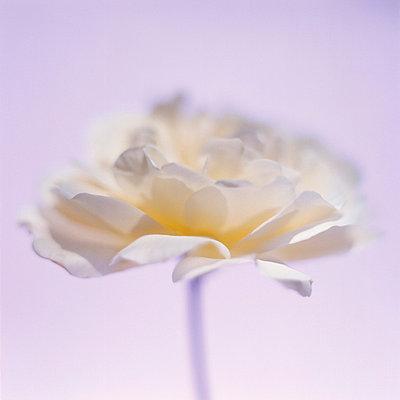 Weiße Rose - p4950183 von Jeanene Scott