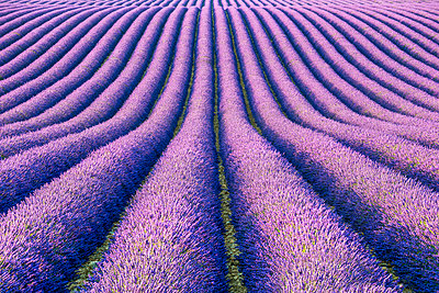 Fields of Lavender, Provence, France - p651m2007185 by Tom Mackie