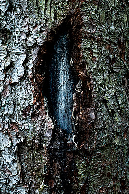 Crack in a tree - p947m2273196 by Cristopher Civitillo