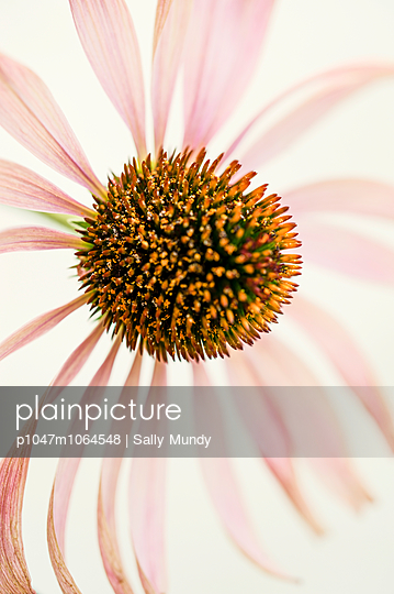 Single echinacea flower - p1047m1064548 by Sally Mundy
