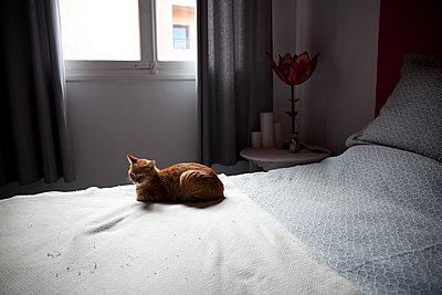 Katze auf Bett - p1356m1540096 von Markus Rauchenwald