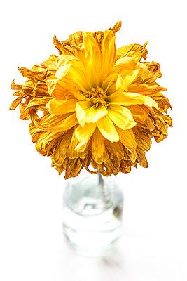 Vertrocknete gelbe Dahlie - p550m1138409 von Thomas Franz