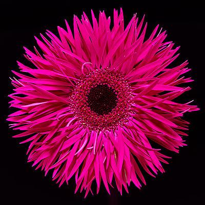 Pink Gerbera - p587m2115452 by Spitta + Hellwig