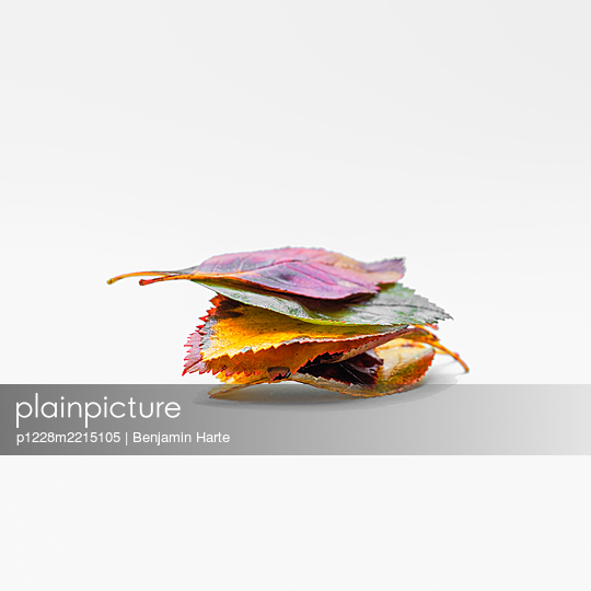 Autumn leaves on a white background - p1228m2215105 by Benjamin Harte