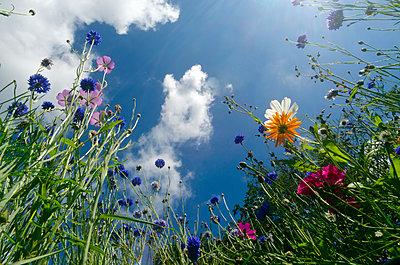 Blumenwiese - p1562m2149717 von chinch gryniewicz