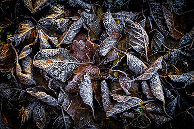 Frost on leaves - p312m1471378 by Benny Karlsson