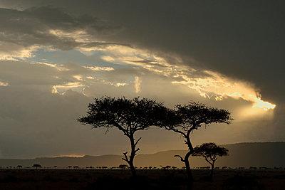 Storm clouds and silhouetted Acacia tortilis trees, Mara Triangle, Maasai Mara National Reserve, Narok, Kenya, Africa - p429m926247 by Lou Coetzer
