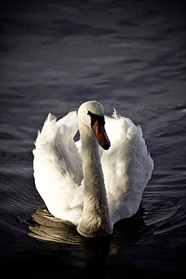 White swan - p586m788302 by Kniel Synnatzschke
