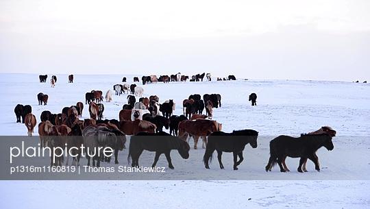 Islandpferde am Goldenen Zirkel, Island im Winter, Island - p1316m1160819 von Thomas Stankiewicz