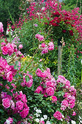 Flowering rose 'Pink cloud' - p1183m997679 by Great Stock!