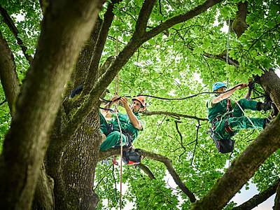 Tree cutters hanging on ropes in tree - p300m2023844 by Christian Vorhofer