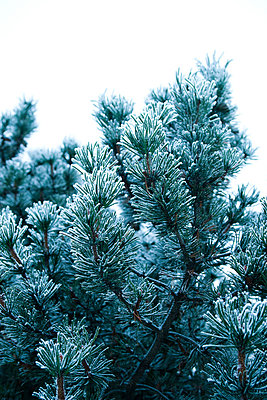 Pine branches covered in frost - p6751169 by Sanna Lindberg