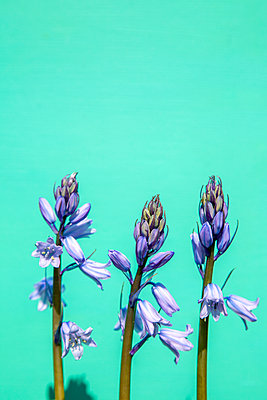 Bluebells Against Green Wall  - p1248m2179120 by miguel sobreira